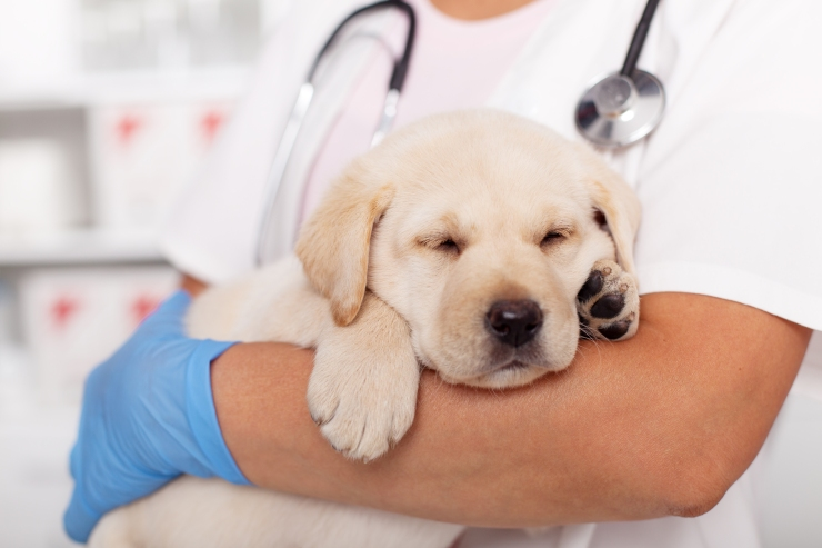 Cute labrador puppy dog asleep in the arms of veterinary healthc
