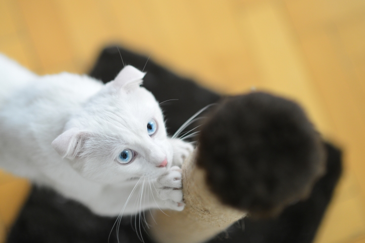 White cat with blue eyes scratching her paws at the scratching p